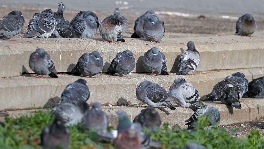 Pourquoi déteste-t-on les pigeons ?