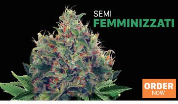 Semi di Cannabis - Ministry of Cannabis