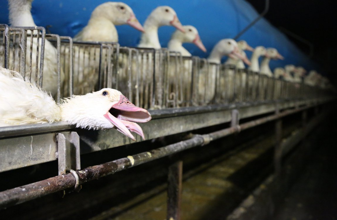 Gavage pour la production de foie gras | GAIA
