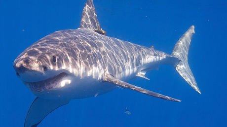 Vous pouvez visiter tous les aquariums du monde, vous n'y verrez sans doute jamais un grand requin blanc et ceci...