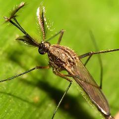En France, les moustiques transmettent aussi le virus Usutu (paralysie, complications neurologiques…)