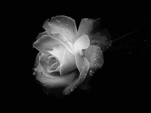 rose-blanche-sur-fond-noir - Dossier 23 - feebleue10 - Photos - Club Doctissimo