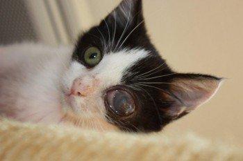 ACTU Animaux - Jamaica, chatonne de 2 mois énucléée