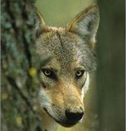 Le préfet des Hautes Alpes ( sur ordre de S Royal?...) revient sur sa décision d'organiser des battues coeur du PN des Ecrins! Mais la lutte pour les sauver est loin d'être finie  préparons nous à une lutte  acharnée pour défendre nos loups en france   c'est vital pour nos écosystème donc aussi humains pour votre propre survie  merci d'en avoir conscience   plusieurs de mes articles vous font enfin, essaye de vous faire comprendre que le loup est indispensable  !!!!!!!!!!
