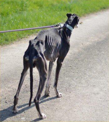 ACTU Animaux - Iverness, galgo enfermé, cachectique, épuisé, en urgence vétérinaire et mis en pension