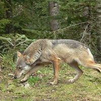 «Indice concret sur la présence d'un loup» près de Fouhren