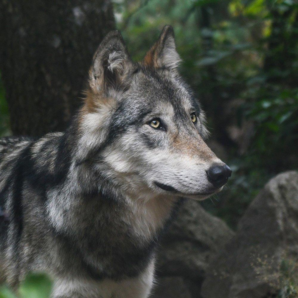 L'ASPAS fait suspendre les tirs de l'unique loup du Larzac - ASPAS : Association pour la Protection des Animaux Sauvages