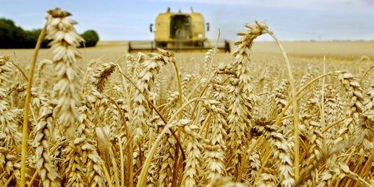La découverte aux Etats-Unis de blé transgénique d'origine inconnue agite le marché mondial