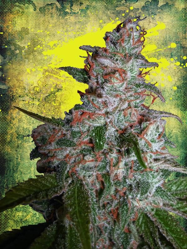 Northern Lights MOC Feminised Seeds