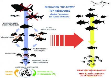Importance du Requin - Shark Education