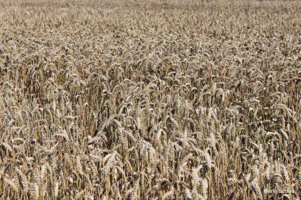 La symbolique du blé