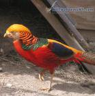 One pair of 2016 hatch Red Golden Pheasant. - Pheasants : Red Golden