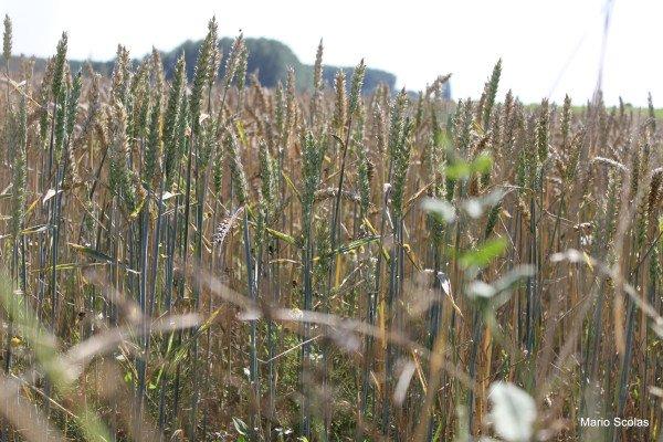 L'épi de blé des mystères d'Eleusis est symbole de résurrection - Last night in Orient