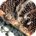 Abeille en danger et disparition abeilles - Abeille Sentinelle