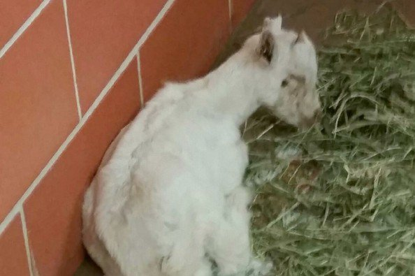 Click here to support Abandoned Baby Goat Needs Vet Care by Corinne DiLorenzo