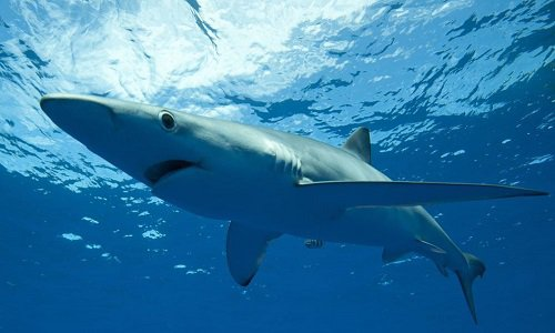 Pétition : Faire interdire l'utilisation du foie de requin dans les cosmétiques