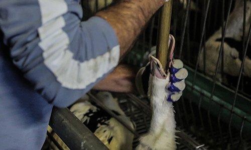 Pétition : Interdire le gavage des canards et des oies pour la production de foie gras en France