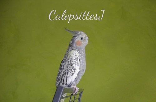 Bienvenue - CalopsittesJ
