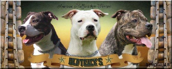 Et voilà le lien vers mon site d'elevage : Elevage Oldtrack's - eleveur de chiens American Staffordshire Terrier