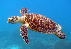 Save Hawksbill Turtles from Extinction