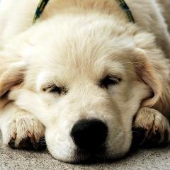 Le cannabis, 3e cause d'intoxication chez les chiens au Québec (voyez le top3 pour les chats et chiens)
