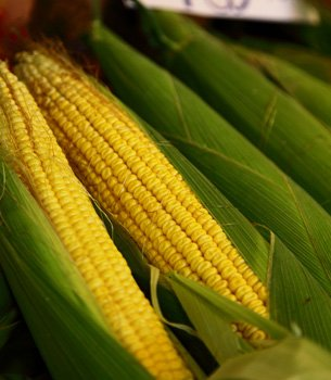 Contaminated Corn Tied to HIV Transmission