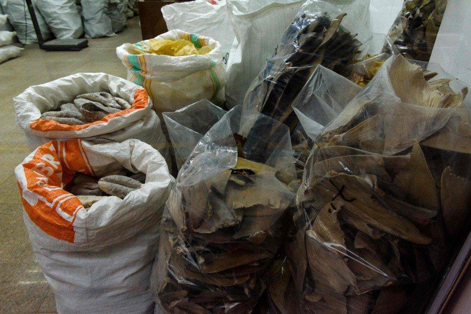 Hong Kong: énorme saisie d'ailerons de requins | Asie & Océanie