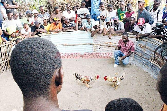 Extinction programmée des combats de coqs - France Antilles