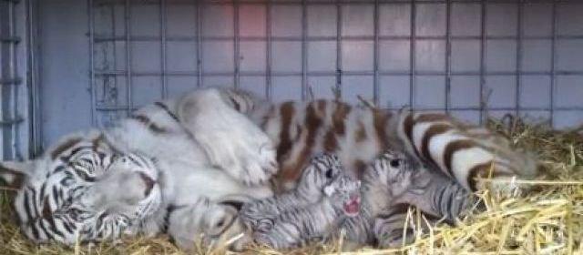 VIDEO. Charente-Maritime : naissance de quatre tigres blancs du Bengale