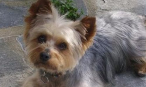 Pétition : Justice pour Cacahuète, yorkshire de 9 ans tué à coups de marteau à Grasse .