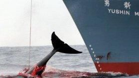 La chasse à la baleine est lancée - Outre-mer réunion