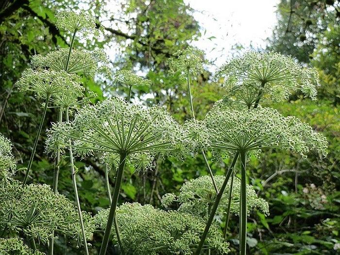herbe angelica-angelica planta medicinala