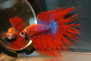 { Top 7 Expertly Recommended Betta Fish Tanks of 2018   Upgrade Your Betta Tank Today! View Our Experts #1 Picks   Top 7 Fighter Fish Tanks of 2018   The Top 7 BEST Tanks for Fighting Fish of 2018   Japanese Fighting Fish: The Top 7 Best Bowls of 2018 Thus Far! }