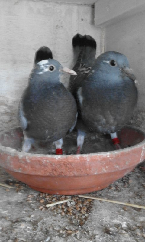 pigeon pour un amis