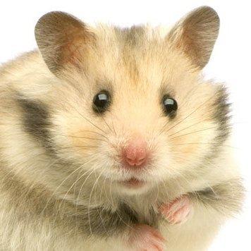 hamsterfan