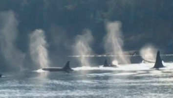 Vidéo - Thalassa - Luna, l'orque qui aimait les hommes - 28-06-2013