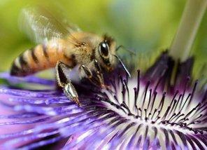 Identification d'un nouvel insecticide mortel pour les abeilles