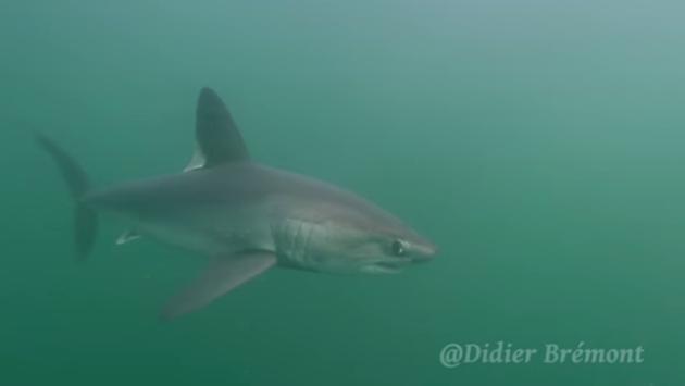 En Bretagne, un requin-taupe dépecé illégalement par des plaisanciers