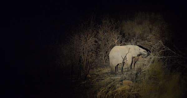 Pour échapper aux braconniers, les éléphants marchent la nuit et se cachent le jour