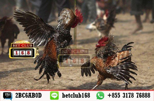 Mendapatkan Bonus Terbesar Dalam Judi Sabung Ayam Online