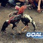 Agen Judi Sabung Ayam Modal 50rb Saja