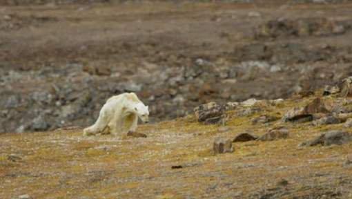 L'agonie d'un ours polaire famélique, monstrueuse preuve du réchauffement