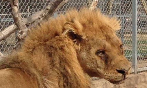 Pétition : Sauvons le lion Congo !