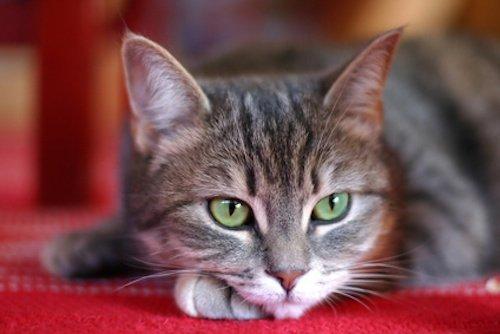 Puces du chat : 5 solutions naturelles
