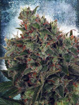 Tips and Tricks for Growing White Widow