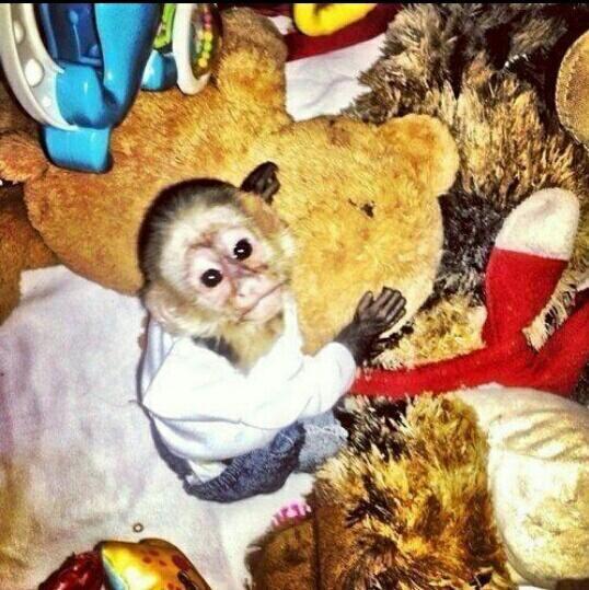 le singe a justin trop mignon (l)