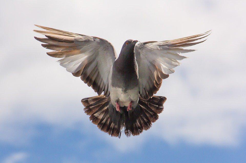 Pourquoi y'a-t-il tant de pigeons ?