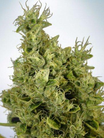 Mandarin Haze Féminisées