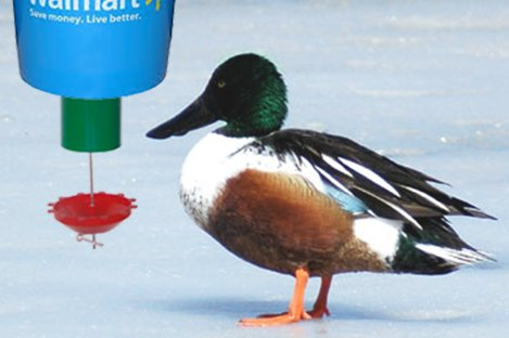 Northern Shoveler Duck Using Automatic Duck Feeder Pets Listing