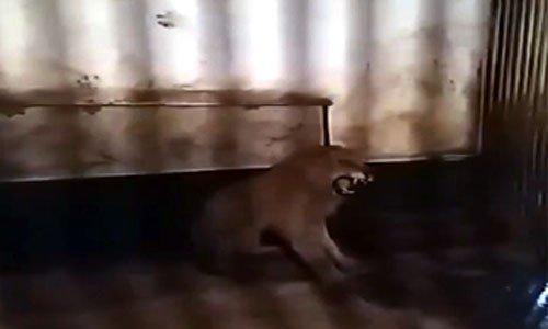 Pétition : Sauvons le lion Acen ainsi que les autres animaux du zoo illegitime de Razgrad, Bulgarie